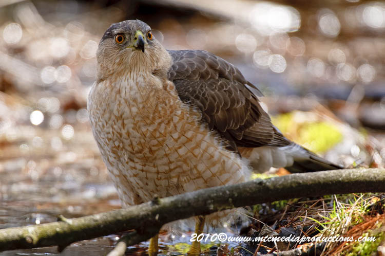 Coopers Hawk Picture-107