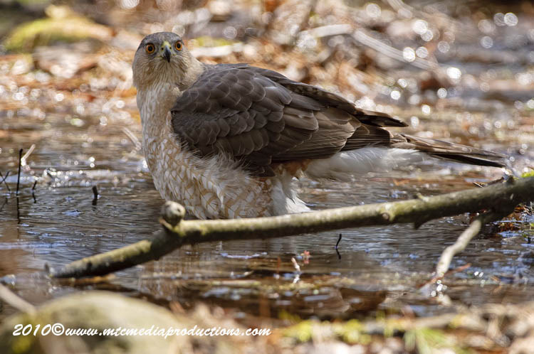 Coopers Hawk Picture-108