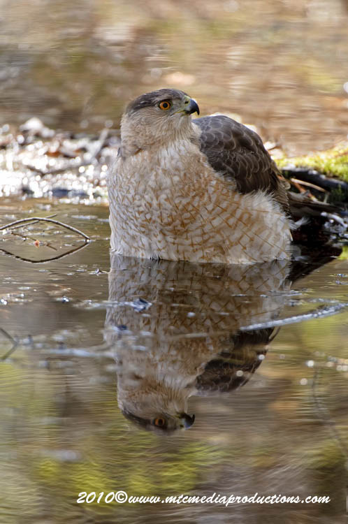 Coopers Hawk Picture-109