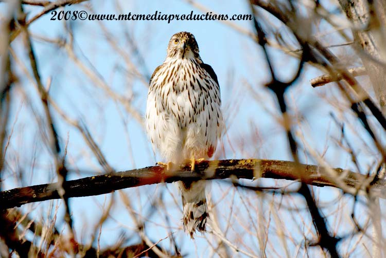 Coopers Hawk Picture-11