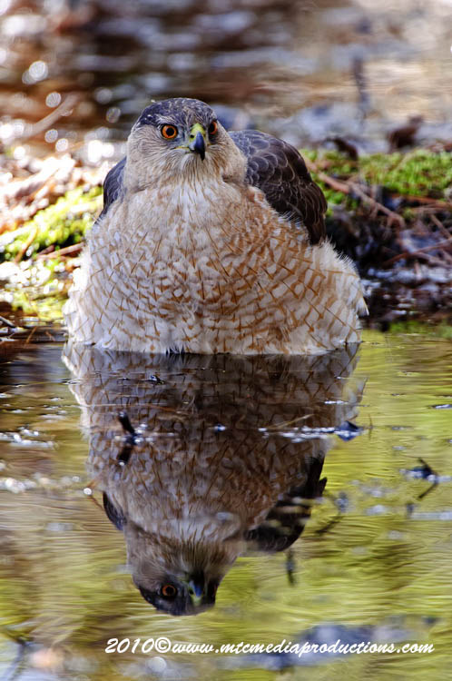 Coopers Hawk Picture-112