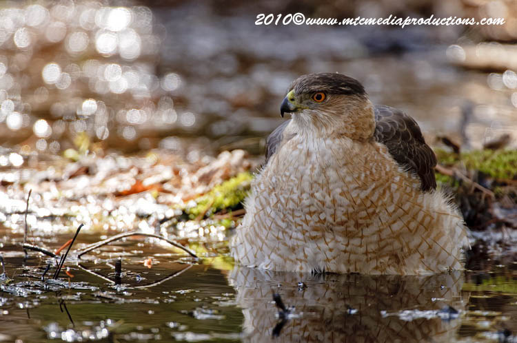 Coopers Hawk Picture-113