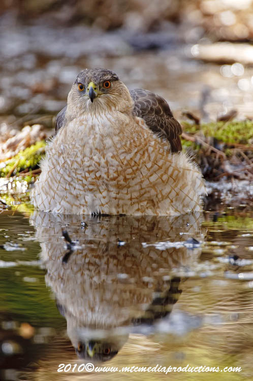Coopers Hawk Picture-114