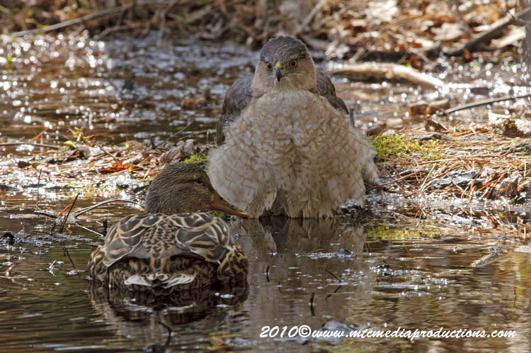 Coopers Hawk Picture-115