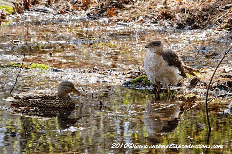 Coopers Hawk Picture-116
