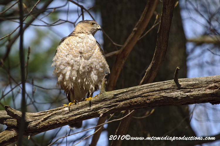 Coopers Hawk Picture-117