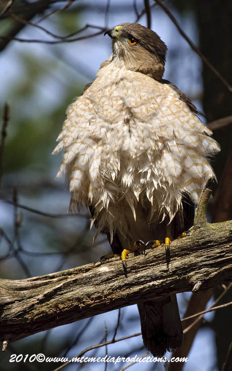 Coopers Hawk Picture-118