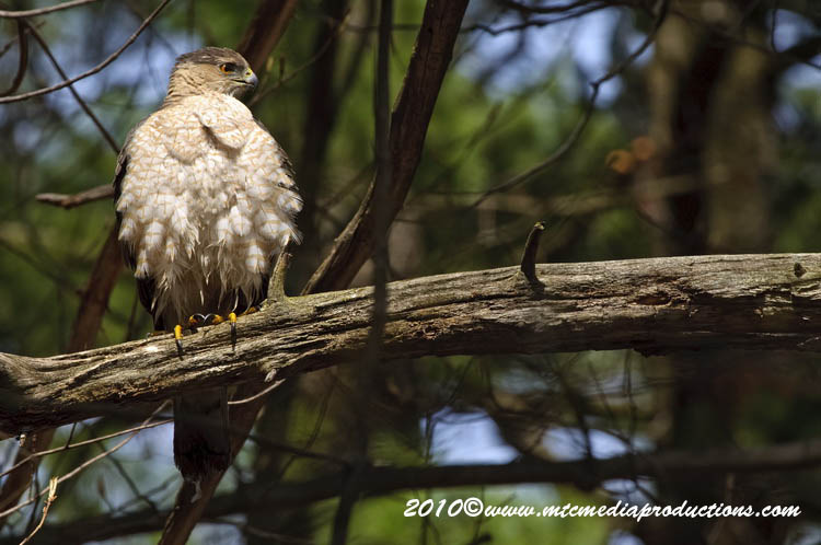 Coopers Hawk Picture-119
