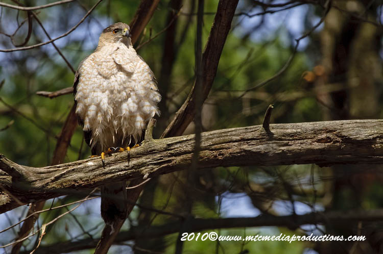 Coopers Hawk Picture-120