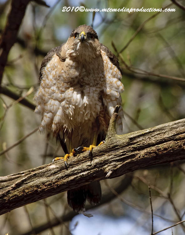 Coopers Hawk Picture-121