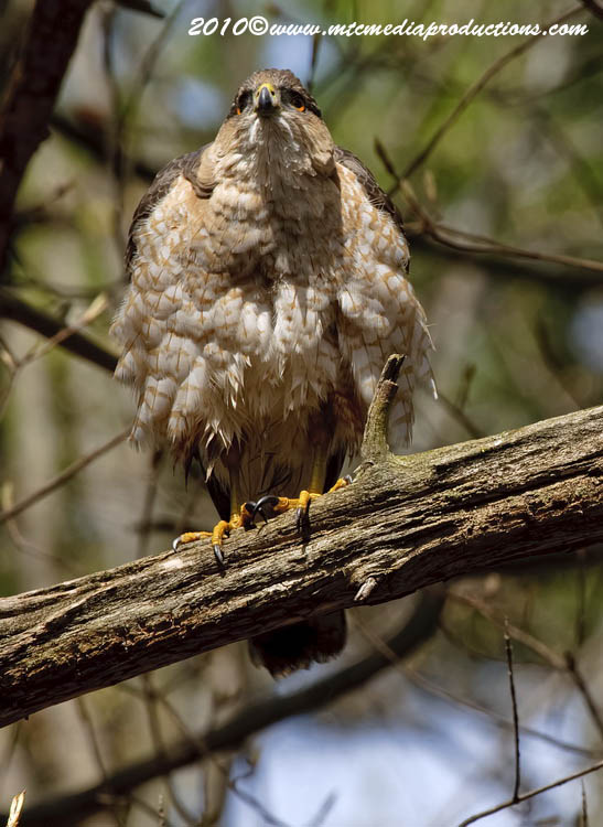 Coopers Hawk Picture-122