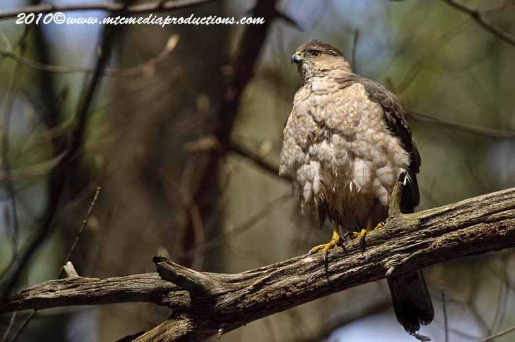 Coopers Hawk Picture-124