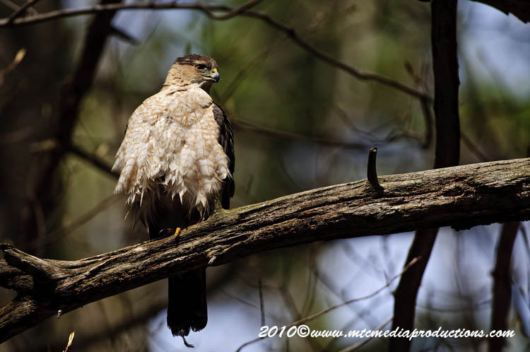 Coopers Hawk Picture-125