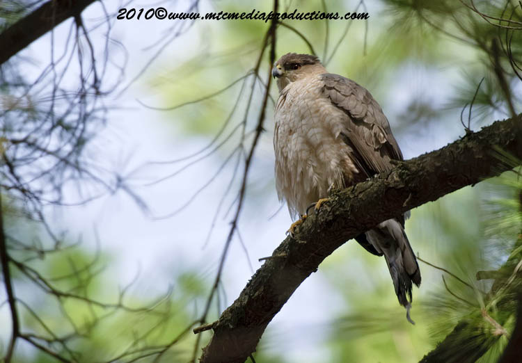 Coopers Hawk Picture-126