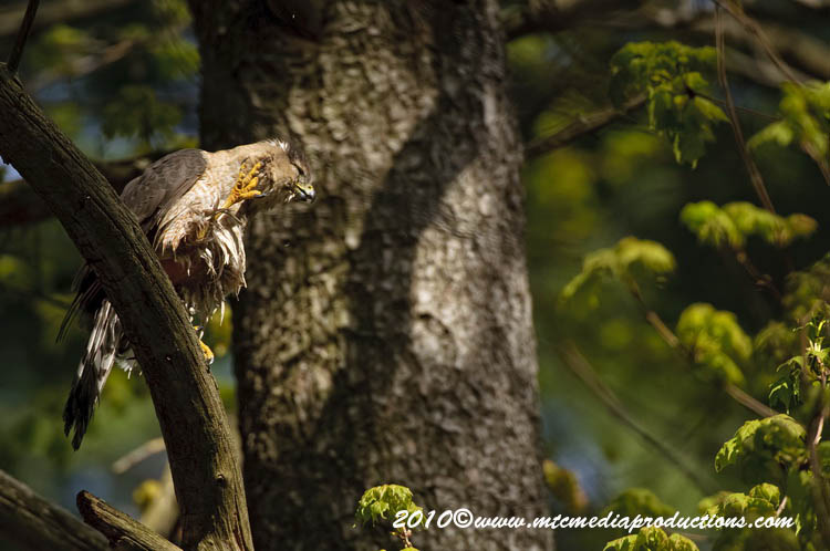 Coopers Hawk Picture-127