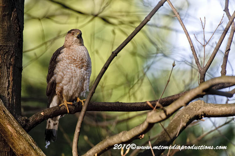 Coopers Hawk Picture-128