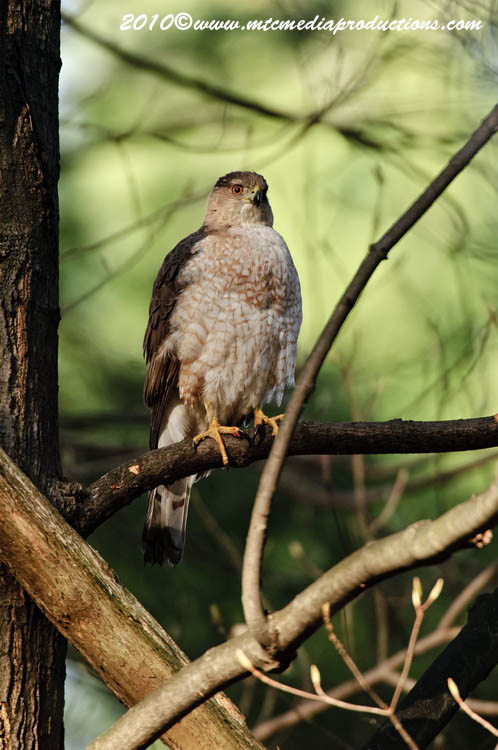 Coopers Hawk Picture-129