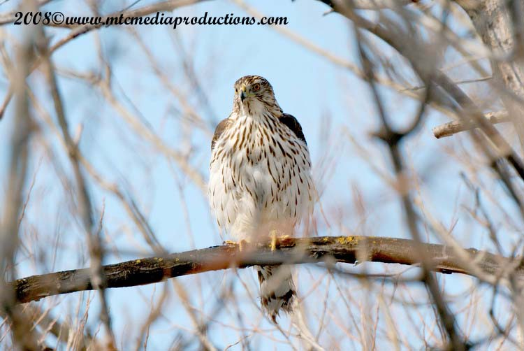Coopers Hawk Picture-13
