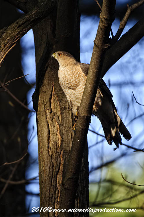 Coopers Hawk Picture-130