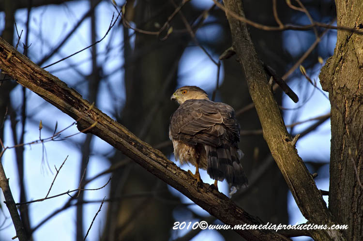 Coopers Hawk Picture-131