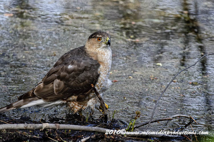 Coopers Hawk Picture-132