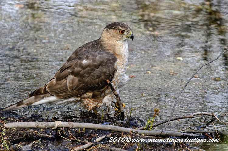 Coopers Hawk Picture-133