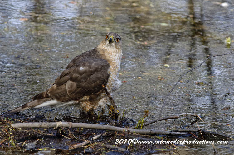Coopers Hawk Picture-134