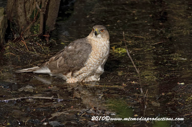 Coopers Hawk Picture-135
