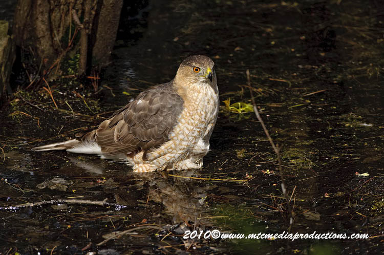 Coopers Hawk Picture-136