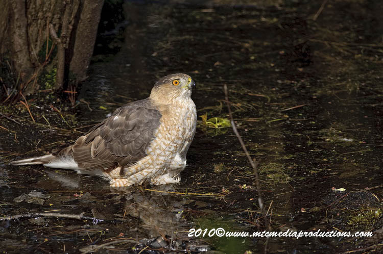 Coopers Hawk Picture-137