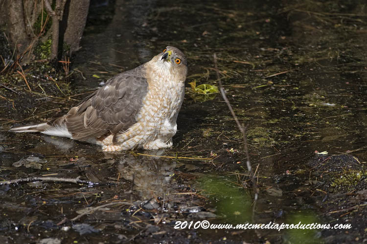 Coopers Hawk Picture-138