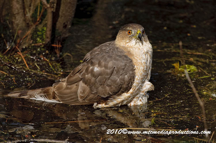Coopers Hawk Picture-139