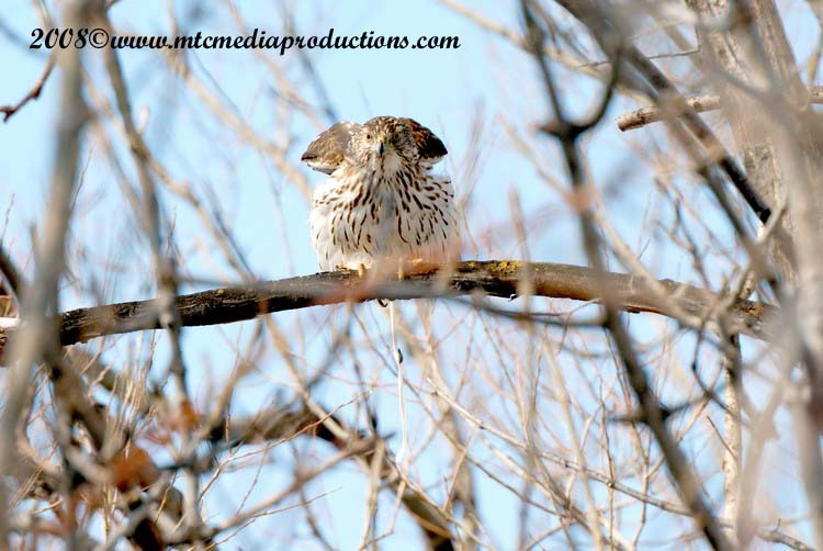 Coopers Hawk Picture-14