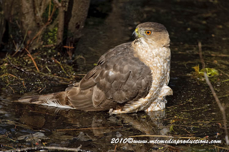 Coopers Hawk Picture-140