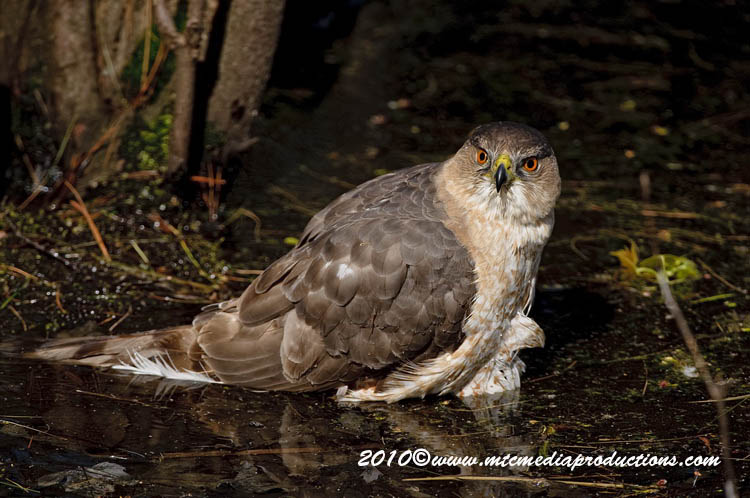 Coopers Hawk Picture-141