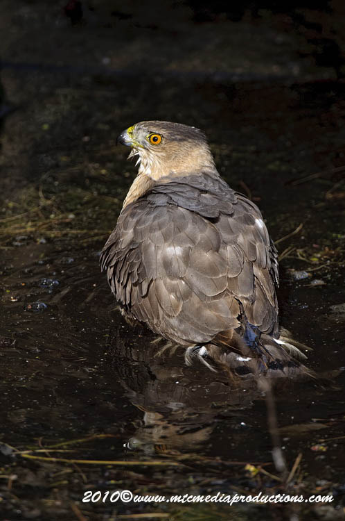 Coopers Hawk Picture-142