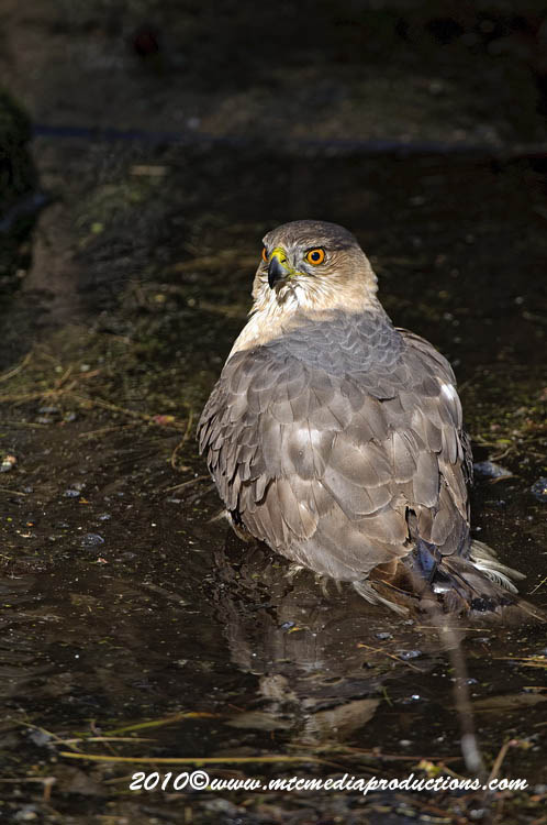 Coopers Hawk Picture-143