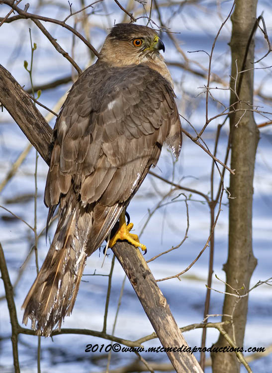 Coopers Hawk Picture-144