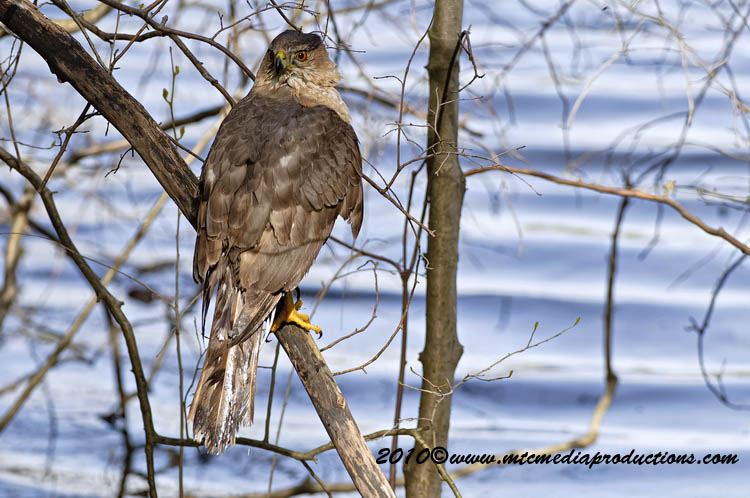 Coopers Hawk Picture-145