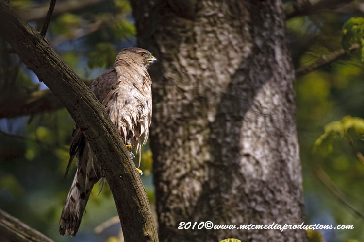 Coopers Hawk Picture-146