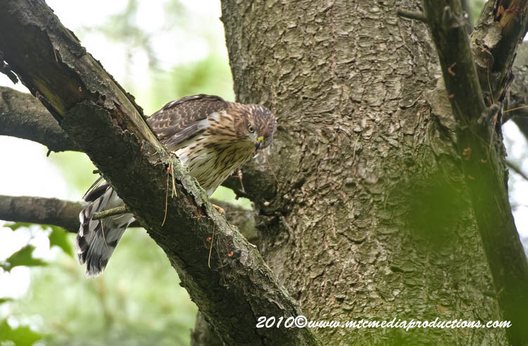 Coopers Hawk Picture-151