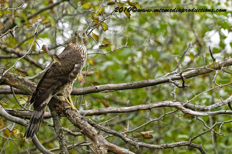 Coopers Hawk Picture-152
