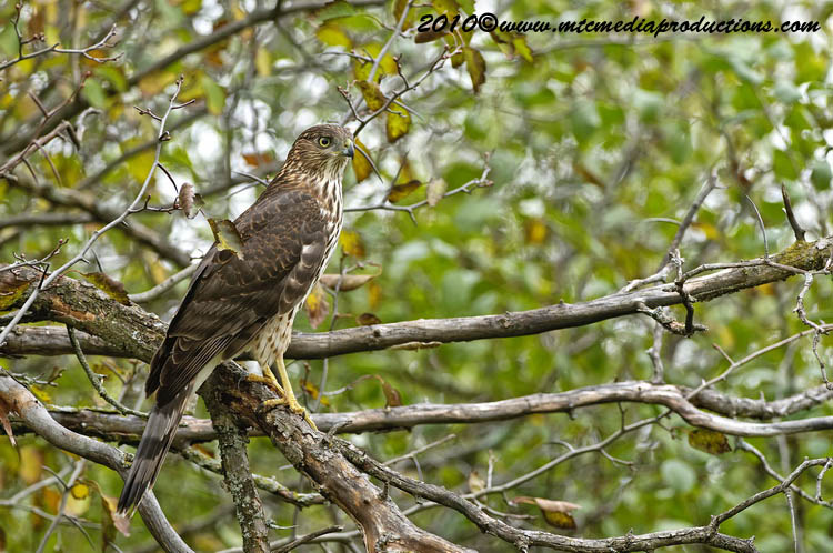 Coopers Hawk Picture-153