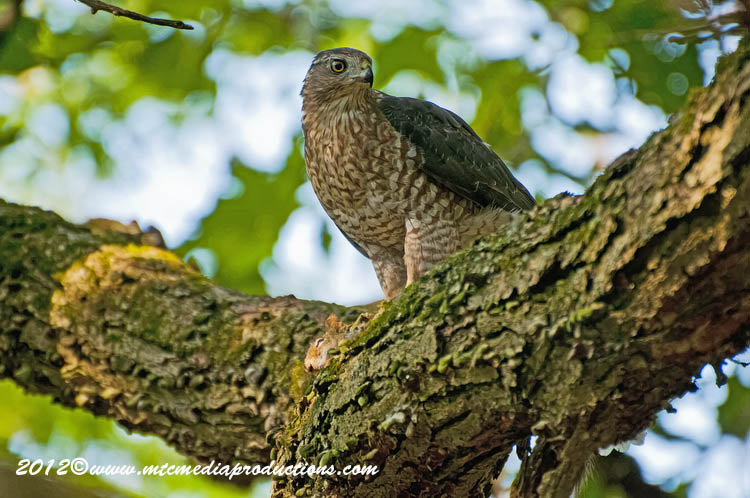 Coopers Hawk Picture-154