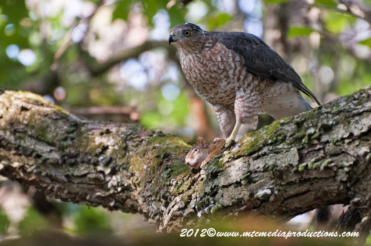 Coopers Hawk Picture-155