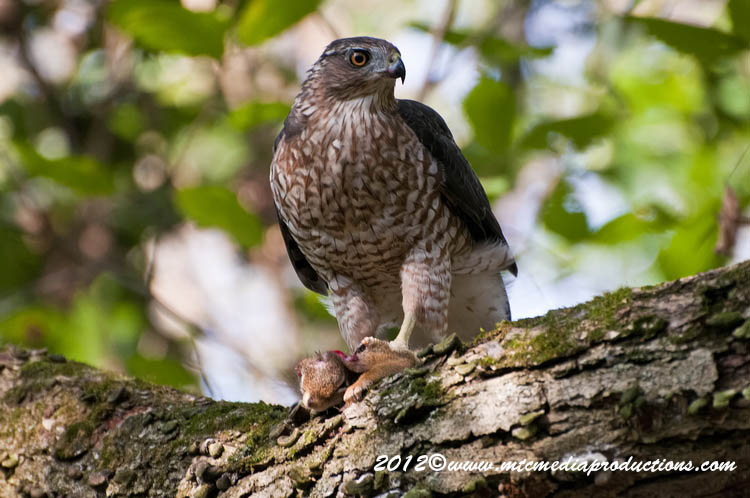Coopers Hawk Picture-156