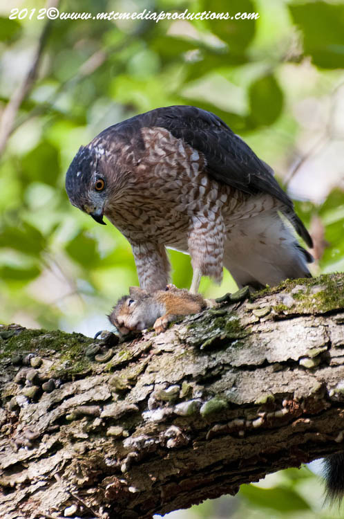 Coopers Hawk Picture-157