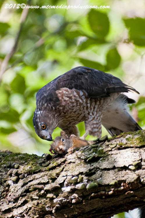 Coopers Hawk Picture-158