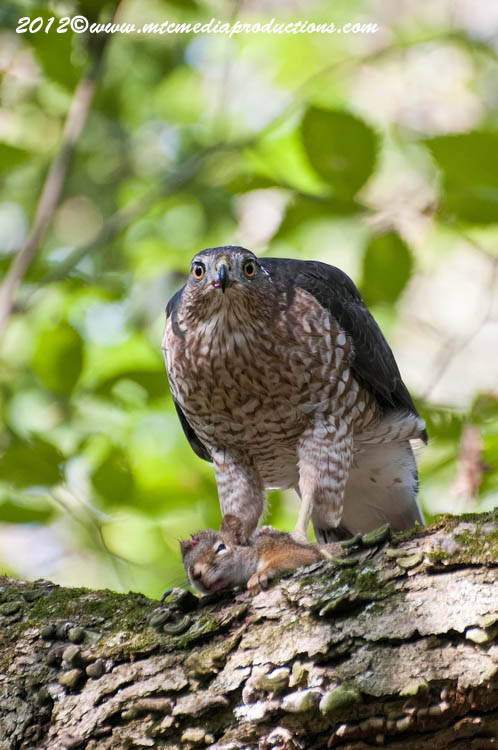 Coopers Hawk Picture-159