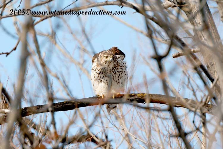 Coopers Hawk Picture-16